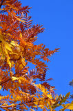 Red Elm leaves in fall Royalty Free Stock Images