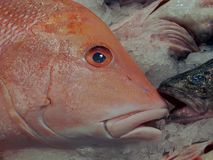 Red Emperor Close Up Profile. Stock Photography