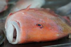 Fish Red Emperor. Red Emperor is one of Australia`s most highly regarded food fish. Its lovely firm white flesh, large flake and delicate flavour are all Royalty Free Stock Images