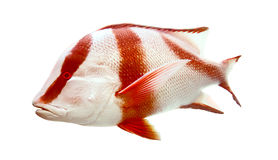 Red Emperor (government Bream) Lutjanus Sebae Royalty Free Stock Photography