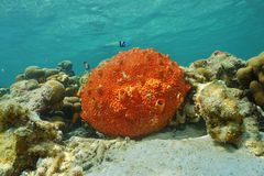 Red encrusting sponge Cliona delitrix Royalty Free Stock Image
