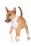 Red english bull terrier puppy Royalty Free Stock Images