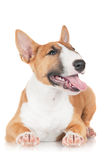 Red english bull terrier puppy Stock Photography