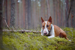 The red English bull terrier in the wood Royalty Free Stock Photos