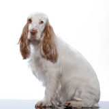 Red English Cocker Spaniel Royalty Free Stock Photos