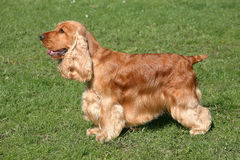 Red English Cocker Spaniel Royalty Free Stock Images