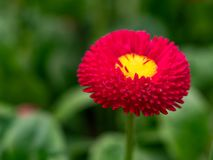 Red English daisies - Bellis perennis - in spring park. Detailed. English daisy or bellis perennis plant with colorful pink and white flowers macro closeup Stock Photography