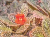 Red Episcia flower Royalty Free Stock Photos