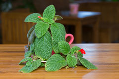 Red Episcia flower or flame violet flower Royalty Free Stock Image