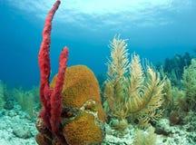 Red Erect rope sponge. Erect rope sponge on Caribbean coral reef stock images