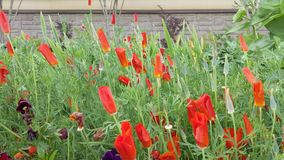 Red eschscholzia flowers are blooming and waving in the wind.  stock video