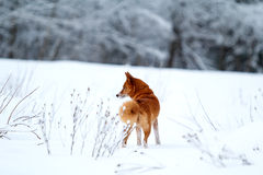 Red Eskimo dog Stock Image