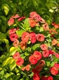 Red euphorbia Stock Image