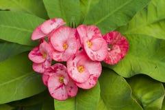 Red Euphorbia. Royalty Free Stock Image