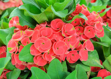 Red Euphorbia Milii Blossom Royalty Free Stock Images