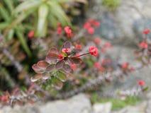 Red Euphorbia milii flower Stock Photo