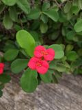 Red euphorbia milii flower Royalty Free Stock Images