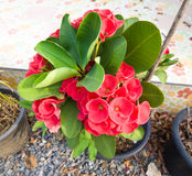 Red Euphorbia milii. Flower in pot Stock Image