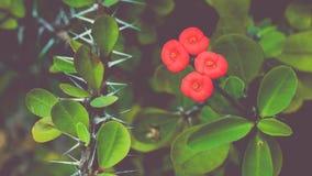 Red Euphorbia milii flower, Thailand, Koh Tao, Vintage Stock Photography