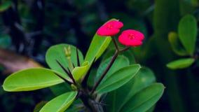 Red Euphorbia milii flower, Thailand, Koh Tao, Vintage Stock Image