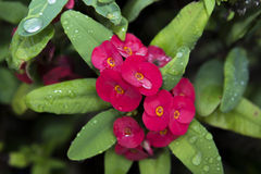Red euphorbia milii flowers blooming and refreshing drops of dew Royalty Free Stock Photos