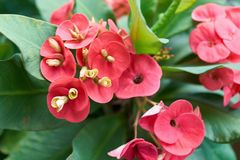 Red Euphorbia milli with green leaves as background royalty free stock images