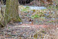 Red eurasian squirre and Nuthatch. Sit on a pile of nut shell in the park stock image