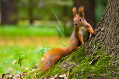 Red Eurasian squirrel. Red squirrel in the natural environment Royalty Free Stock Photo