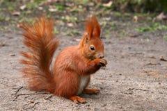 Red Eurasian squirrel Royalty Free Stock Image