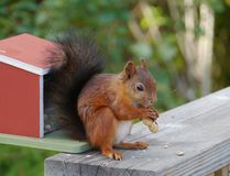 A red eurasian squirrel Royalty Free Stock Image