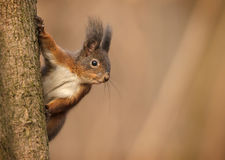 Red Eurasian squirrel clinging to tree trunk Stock Image