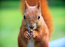 Red Eurasian squirrel Stock Photo