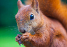 Red Eurasian squirrel Stock Photography