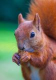Red Eurasian squirrel Stock Images