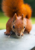 Red Eurasian squirrel Royalty Free Stock Image