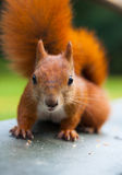 Red Eurasian squirrel Stock Photos
