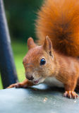 Red Eurasian squirrel Royalty Free Stock Photography