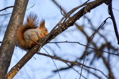 Red euroasian squirrel on the branch stock image