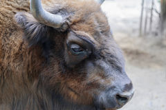 Red european bison portrait. Red hair european bison portrait, facing to the right Stock Photo