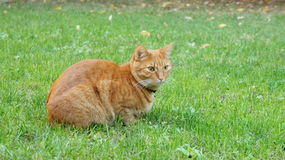 Red european cat in the grass Stock Photography