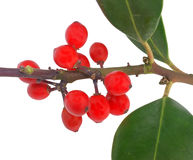 Red european holly (Ilex aquifolium) Royalty Free Stock Images