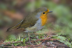 Red European Robin, bird Royalty Free Stock Image