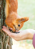 Red european squirrel eating from hand Royalty Free Stock Photos