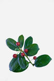 The red evergreen fruit Royalty Free Stock Photography