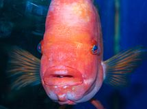 Red exotic fish living on coral reefs stock images