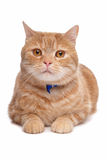 Red exotic short-haired maine coon Royalty Free Stock Photo