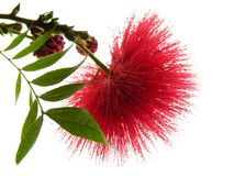 Red Explosion. Light red mimosa flower Stock Photography
