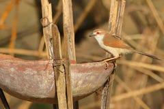 Red eye baya weaver bird stock photos