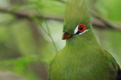 Red eye. A Beautiful Guinea Turaco at the Zoo Royalty Free Stock Photo