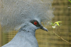 Red eye bird Royalty Free Stock Photography